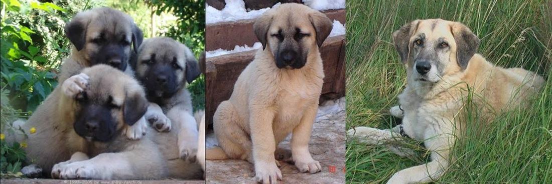 Turkey, Turkish, animal, pet, breed, Kangal, dog